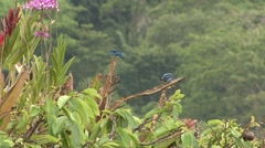Blue Dacnis feed in the canopy Stock Footage