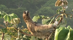 Brown-throated Three-toed Sloth enjoys the sun in the canopy 4 Stock Footage