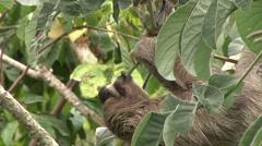 Brown-throated Three-toed Sloth feeding 1 Stock Footage