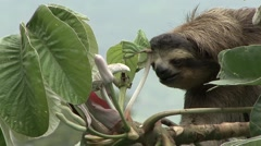 Brown-throated Three-toed Sloth feeding 10 Stock Footage