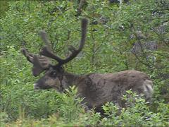 Reindeer, Rangifer tarandus, feeding on shrubs - on camera Stock Footage