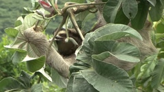 Brown-throated Three-toed Sloth feeding 12 Stock Footage