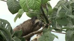 Brown-throated Three-toed Sloth feeding 2 Stock Footage