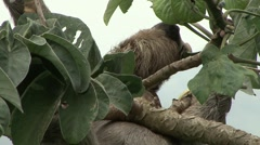 Brown-throated Three-toed Sloth feeding 3 Stock Footage