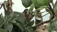 Brown-throated Three-toed Sloth feeding 5 Stock Footage