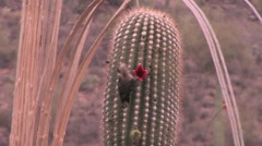 A Gila Woodpecker samples fruit of a Saguaro cactus in the Sonoran Desert Stock Footage