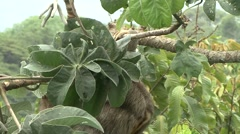 Brown-throated Three-toed Sloth hanging 2 Stock Footage