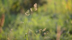 Stock Video Footage of Weeds at sunset in the breeze