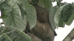 Brown-throated Three-toed Sloth hide under leafs in the rain 2 Stock Footage