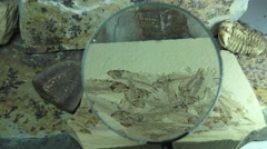 Fish and trilobite fossils using magnifying glass Stock Footage