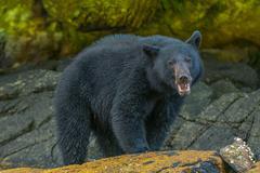 Black Bear Growl - stock photo