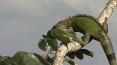 Green Iguana climb down tree 2 Stock Footage
