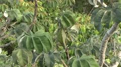 Green Iguana feeding on leaf in canopy 1 Stock Footage