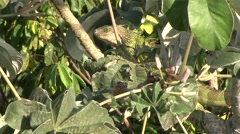 Green Iguana rest in canopy 1 Stock Footage