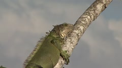 Green Iguana rest in canopy 3 Stock Footage