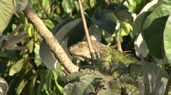 Green Iguana rest in canopy 2 - stock footage