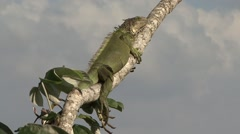 Green Iguana rest in canopy 4 Stock Footage