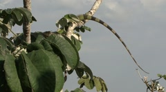 Green Iguana rest in canopy 6 Stock Footage