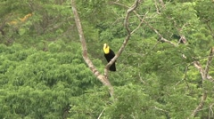 Keel-billed Toucan pair in rainforest canopy Stock Footage