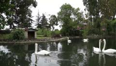 Swans afloat Stock Footage