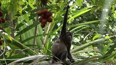 Mantled Hower Monkey feeding 1 - stock footage