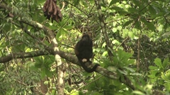 Mantled Hower Monkey male on the outlook1 Stock Footage