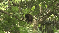 Mantled Hower Monkey move in tree 2 Stock Footage