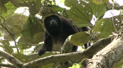 Mantled Hower Monkey on the outlook1 Stock Footage