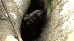 Western Night Monkey family looking out of in tree hole during the day 6 Stock Footage