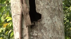 Western Night Monkey looking out of tree hole during the day 1 Stock Footage