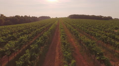 AERIAL: Flying above big vineyard field at beautiful summer sunset - stock footage