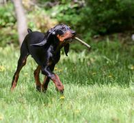 dog playing fetch - stock photo