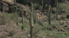 Saguaros thrive at the foothills of a mountain in the Sonoran Desert - stock footage