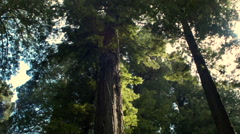 Sunlight streaming through California redwood trees - stock footage