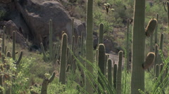 A slow panning shot of saguaro cactus in the Sonoran desert Stock Footage