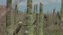 Saguaro Cactus in mid-day heat - stock footage