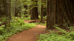 Red dirt path through redwood forest Stock Footage