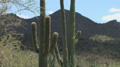 Saguaro cactus in mid-day heat in the Sonoran Desert Stock Footage