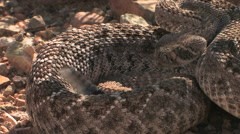Stock Video Footage of a coiled western diamondback rattlesnake is ready to strike