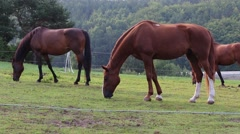 Horses in a stud and paddock - stock footage