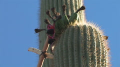 Saguaro fruits being collected using saguaro ribs tied together Stock Footage