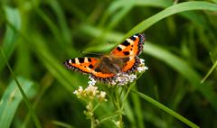 Red Admiral butterfly on grass Stock Photos