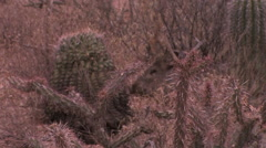 A javelina forages for food in late afternoon light in the Sonoran Desert Stock Footage