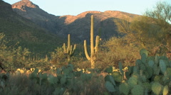 A panning view of the Sonoran Desert at sunset in the foothills Stock Footage