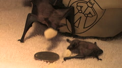 Two baby brown bats suck up milk from a sponge at the Tucson Wildlife Center Stock Footage