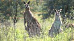 AUSTRALIA-KANGAROOS 4 - stock footage