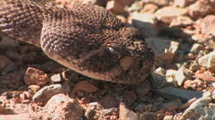 A diamondback rattlesnake lick the air in search for food Stock Footage