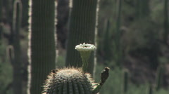 Saguaro Cactus flower with bee Stock Footage