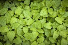 Lemon balm leaves - stock photo