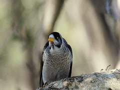 Noisy Miner Bird (Manorina melanocephala) Stock Footage